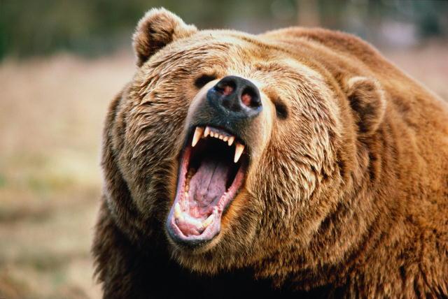 В нескольких километрах от Гатчины замечена стая волков и медведь